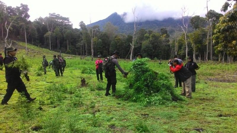 BNN Musnahkan Ladang Ganja di Aceh Besar