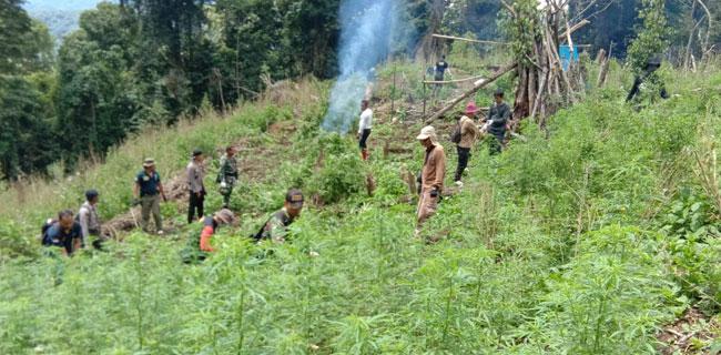 BNN musnahkan ladang ganja di Pengunungan Tor Sihite - Sumatera Utara