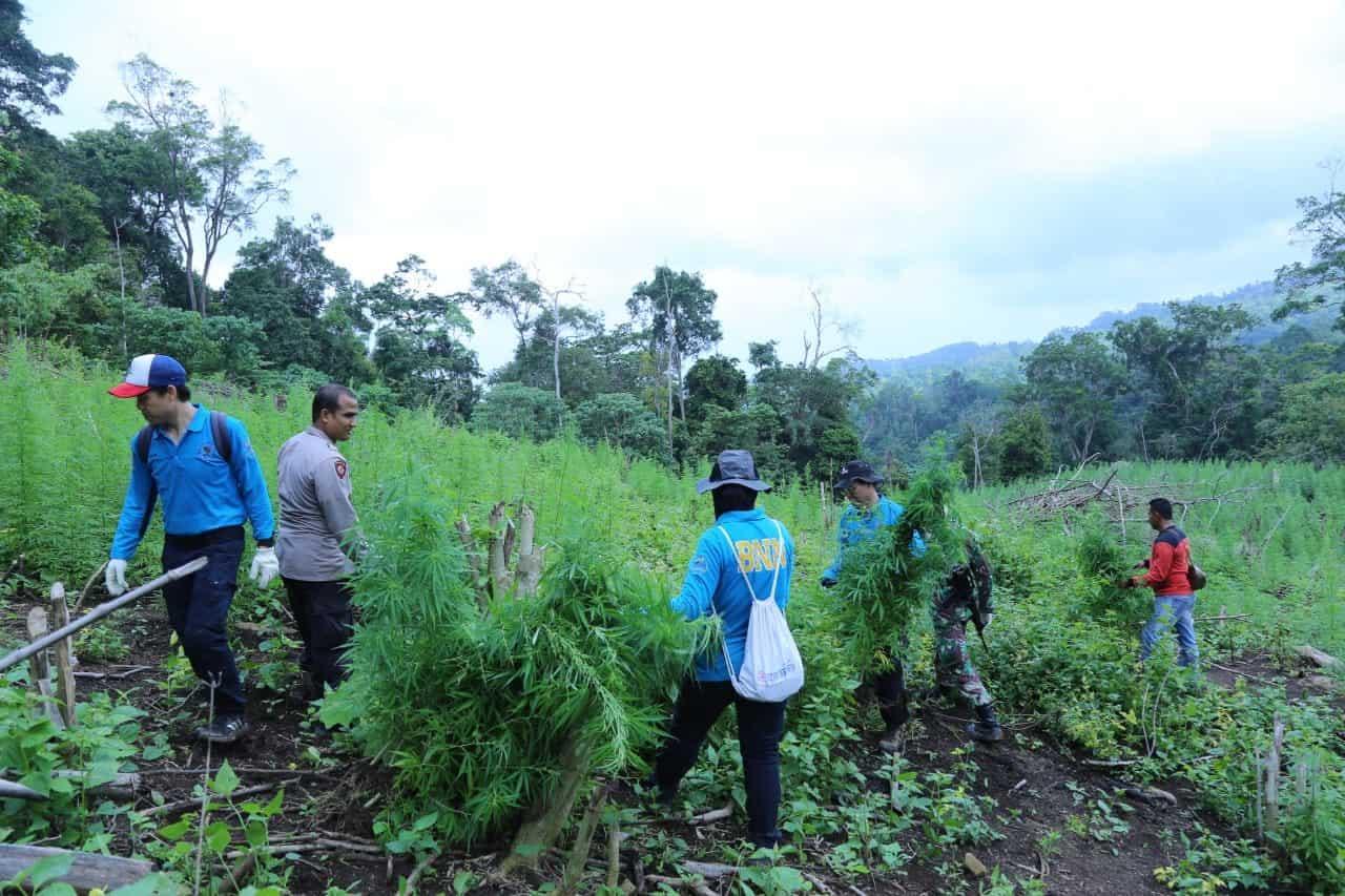 BNN Berhasil Temukan 10 Hektar Bekas Ladang Ganja, 1 Hektar Diantaranya Masih Produktif