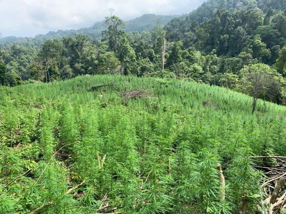 Tim BNN Berhasil Babat 4 Hektar Lahan Ganja Di Pegunungan Seulimun