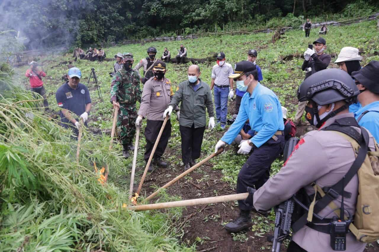 BNN RI Musnahkan Ladang Ganja Di Aceh Besar