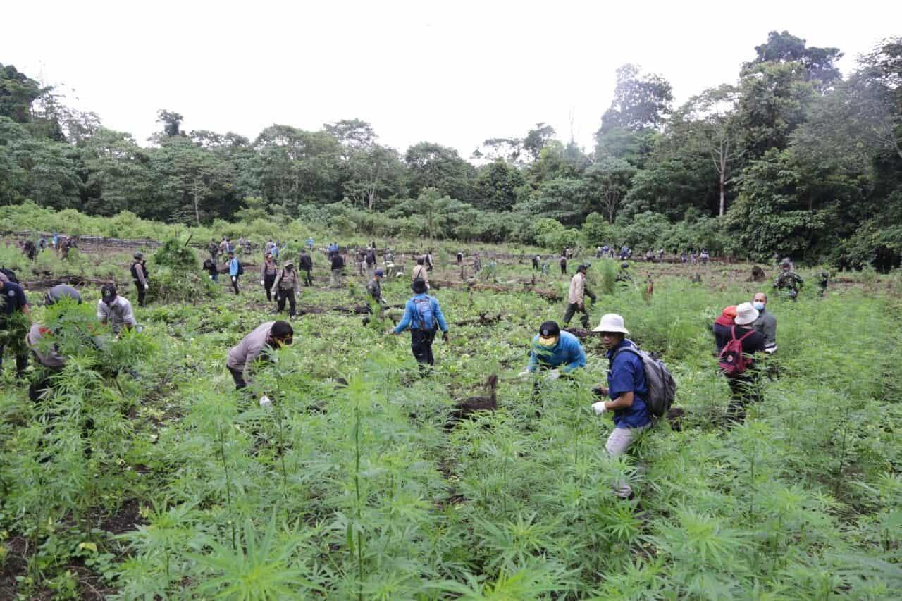 BNN Ubah Ladang Ganja Di Aceh Jadi Lahan Kunyit Kualitas Internasional