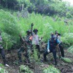Petugas Gabungan Musnahkan 6 Hektar Lahan Ganja Di Mandailing Natal